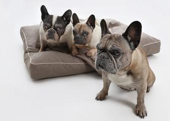 drei ältere französische Bulldoggen, ein Hund im Vordergrund, die anderen Hunde auf einem Hundebett im Hintergrund, Studio, Hintergrund weiß