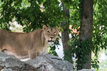 Löwin auf Felsgestein