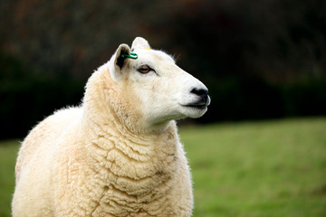 English sheep in a grass field