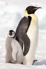 Poster Antarctica Emperor penguin chick in antarctica