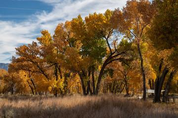yellow autumn leaves on trees in Eastern Sierra Nevada