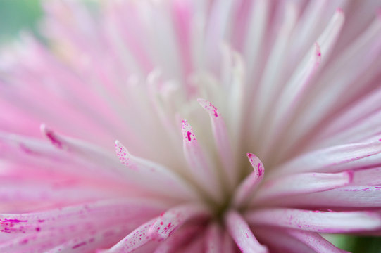 Close-up of pink and white flower