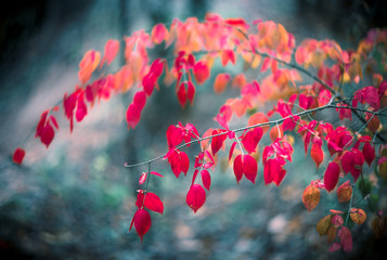 Red leaves branches autumn colorful arrangement in forest on blurred blue colored background with selective focus