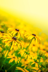 Field of beautiful yellow flowers with selective focus and yellow background  slanted on bright light with green leaves on meadow