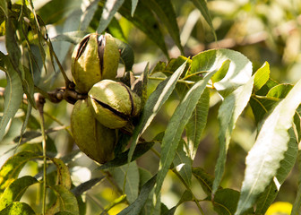 Pecan Nuts Ripening on the Tree. Selective focus used