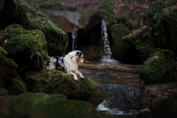 dog at the waterfall in nature. Pet in the forest. australian shepherd, aussie