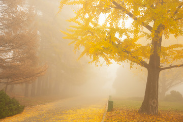 Beautiful autumn landscape with yellow Ginkgo biloba tree. Autumn landscape with yellow ginkgo tree in the fog.