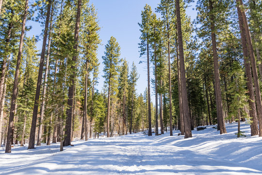 Walking through an evergreen forest on a sunny winter day, with snow covering the path, Van Sickle Bi-State Park; south Lake Tahoe, California