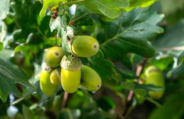 Unreife Eicheln der Stieleiche (Quercus robur)