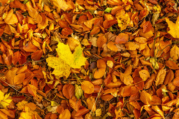 Fallna boklöv på hösten
