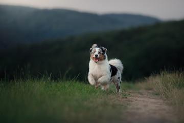 running dog in the field. Pet in nature. Australian Shepherd on the grass
