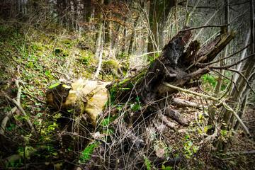 Baumstrunk, stark vermodert und bemoost
