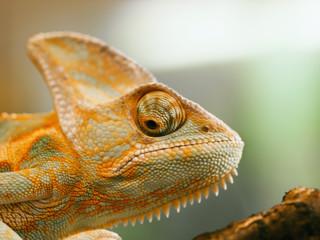 Portrait of Cone Head chameleon - Chameleo calyptratus