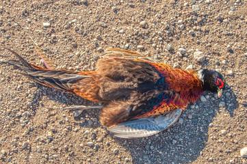 Hunting Pheasants in Eastern South Dakota during October