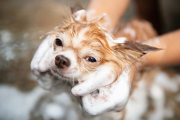 A dog taking a shower with soap and water,Cleaning service