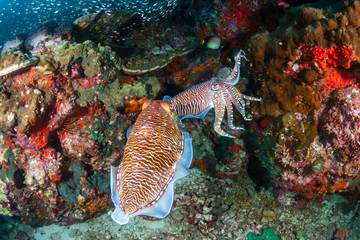 Cuttlefish mating ritual on a tropical coral reef (Richelieu Rock, Thailand)