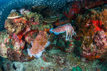 Beautiful Cuttlefish on a colorful tropical coral reef (Richelieu Rock)