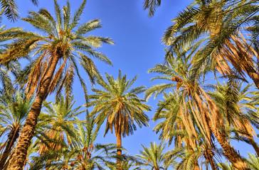 Date Palms in jungles, Tamerza oasis, Sahara Desert, Tunisia, Af