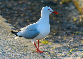 Seagull on the Breakwall
