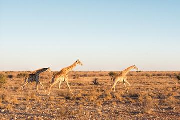Giraffes run in Namibia