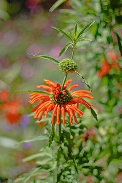 14oz  Leonotis Nepetifolia Pure Orange Petals Klip Dagga