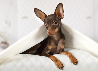Toy Terrier puppy lying in a bed under blanket