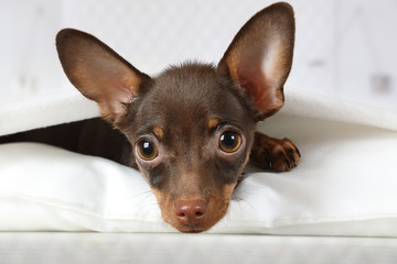 Portrait of a four month old toy Terrier puppy