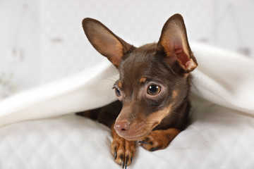 Toy Terrier puppy lying in a bed