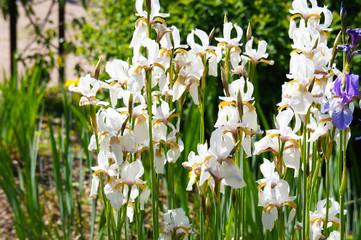 Iris sibirica alba white flowers in garden