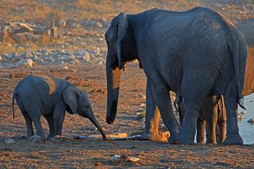 Elefantenbaby mit großen Elefanten am Wasserloch Okaukuejo im Etosha Nationalpark in Namibai