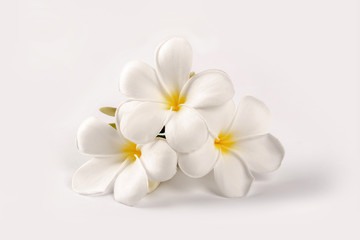Plumeria flowers isolated on white background.