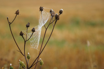 Spinnwebe mit Morgentau im Herbst