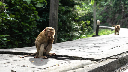 Monkey Eating a Nut in on the foot path looking into the distance in  Phuket Old Town.