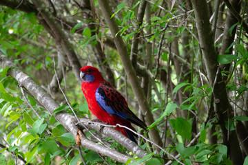 Crimson Rosella on branch