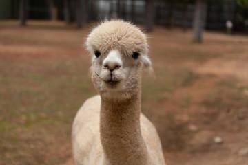 face of a llama