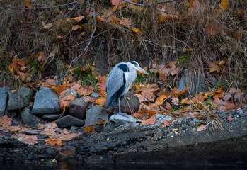 Heron on a smal island in Stockholm