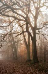 Spätherbst Wald alte Eichen in geheimnisvollem Licht - Late autumn forest old oaks in mysterious light