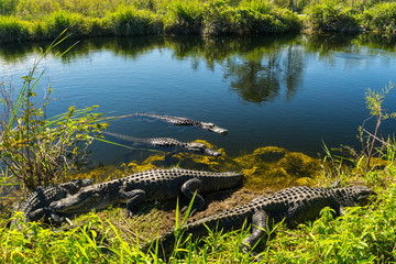 USA, Florida, Many crocodiles enjoying the sun in everglades national park