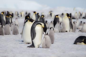 An Emperor Penguin feeds it chick in Antarctica.