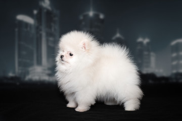 White fluffy Spitz puppy on black background. The background of the night city.