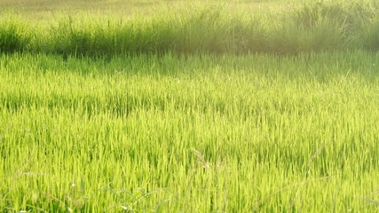 Silhouette warm light in lately evening with green paddy field in Thailand for background texture