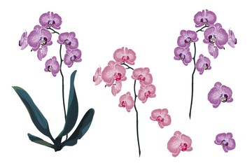 Violet and Pink Orchid Tropical Flowers branch in Watercolor Style isolated on white background.
