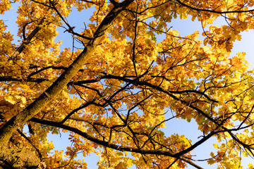 Wall Mural - yellow colorful fall foliage tree under a blue sky up close