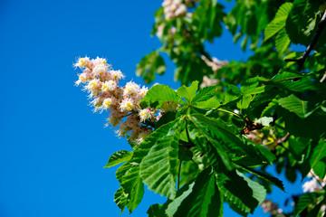 blooming springtime chestnut tree in berlin, germany