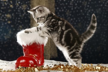 Cute tabby british shorthair cat sitting in christmas boot
