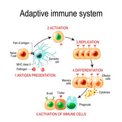 Adaptive immune system from Antigen presentation to activation of other immune cells