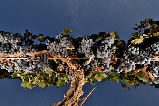 parras con uva malbec