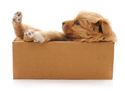 Brown puppy in a box.