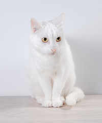 White cat sits on a gray, wooden table. On a white background.