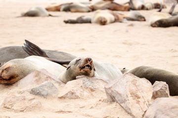 Schlafende Robbe mit Kopf auf Felsen abgelegt